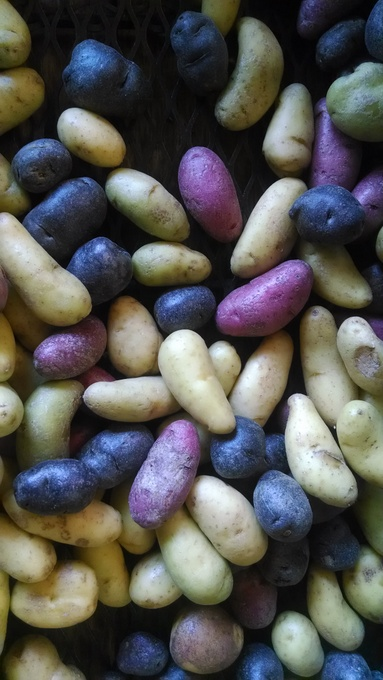 Fingerling potatoes, Farmer's Market
