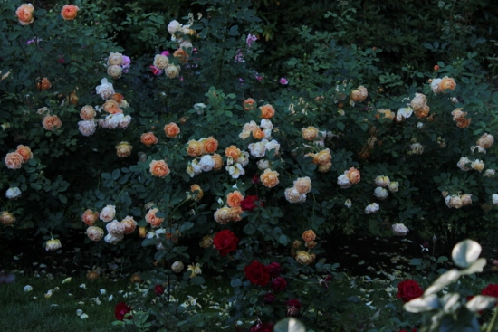Roses at International Rose Test Garden, Portland