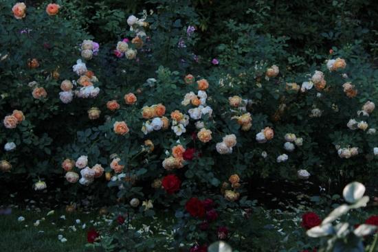 Roses at International Rose Test Garden, Portland