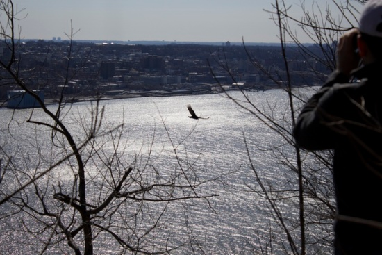 Hawk flying over Hudson river