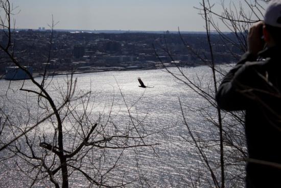 Hawk flying over Hudson river