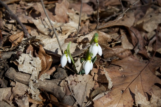 Signs of spring, flower buds