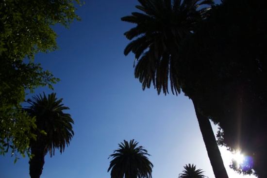 Palm trees at dusk, Los Angeles, California