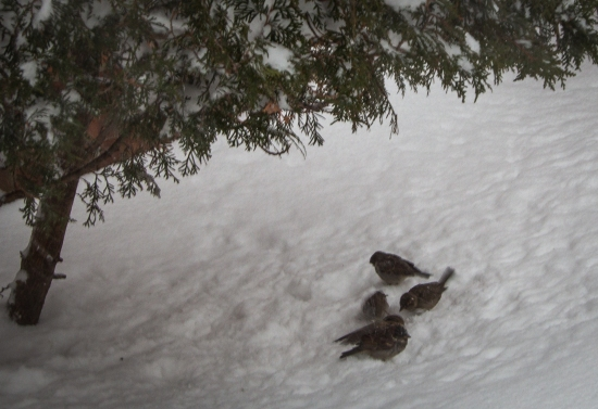 Sparrows bathing in the snow